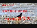 野鳥シリーズ 大雨で荒れた川の流れ 小魚を獲るカラス