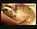モルモットのお風呂