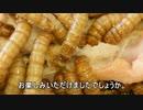 ミルワームの成虫チャイロコメノゴミムシダマシ、120日目を記念して手料理を振舞った。