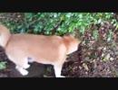 【動物】マムシを仕留めた柴犬の大技が意外すぎるwww