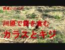 野鳥シリーズ 川原で餌を食む カラスとキジ