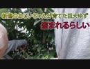 【巨大な柚の盗難】新潟のおじいちゃんの畑でゆずが畑泥棒に盗まれるらしい