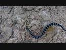 【石垣島】ウミヘビ