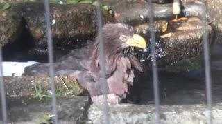 オジロワシさんの豪快な水浴び!(千葉市動物公園)