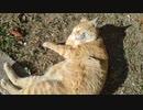 ちゃっぴー22 #茶トラ #日向ぼっこでまん丸招き猫 #公園の人気者
