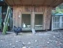 変なおじさんとこの 鶏さん189