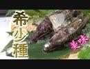 キロ数千円のレア魚「トクビレ」の握り寿司とお刺身にしました!