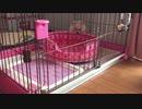 ポメラニアンモモ(子犬) vs 寝床
