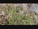 草むらを歩くだけ。冬の河原。刈られた笹