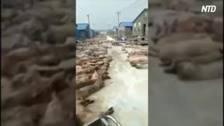 道端に豚の死骸を大量放置=福建省