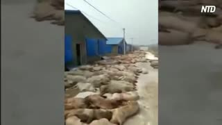 驚愕!愕然!中国の闇市で病死した豚を取引=アフリカ豚コレラ拡散