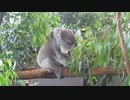 Lone Pine Koala Sanctuary in Australia