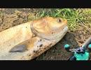 【釣り・рыбалка в японии(Токио・Сайтама)】荒川の温排水(荒川温泉、荒川第一調整池排水門)でルアー釣り@レンギョ(ハクレン)と鮒を釣る!【VLOG・iPhone XS】