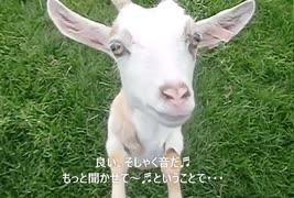 【まとわりつくヤギ】 そしゃく音つき ムシャムシャ゙(´~`)モグモグ