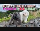 【犬いぬTube】お散歩の強敵!まるの体にチクチクイガイガ!【ビションフリーゼ トイプードル 雑種】