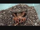 [閲覧注意!!]再編集 トタテグモにゴキブリを与えてみた。(Gorgyella sp.)