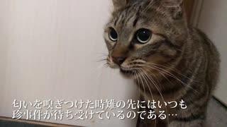 キジトラは見た!〜珍妙白猫ふたりの妖しい関係〜
