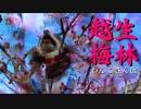 【わんこと散歩】越生梅林2020
