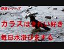 野鳥シリーズ カラスはきれい好き 毎日水浴びをする