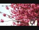 【東北きりたん】春に一番近い街【NEUTRINOカバー】