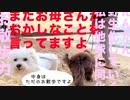 【犬いぬTube】お散歩力★【ビションフリーゼ トイプードル 雑種】