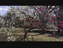 こりゃすごい偏差値30でも綺麗な動画が投稿できる。(教材小金井公園梅令和二年)