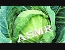 「音フェチ」【咀嚼音】イヤホン推奨!ASMR!リクエスト♪キャベツの葉をむいて食べて見た♪生野菜サラダ!