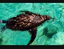 もふもふすぎて泳げないヒナペンギン