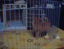 【柴犬】ひとり遊びをする柴犬の子犬
