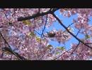 高幡不動尊の河津桜とメジロ