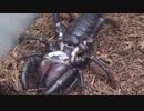 [閲覧注意!!]再編集 ブラックキラーヒヨケムシにゴキブリを食べさせてみた。(Solifugae sp.).