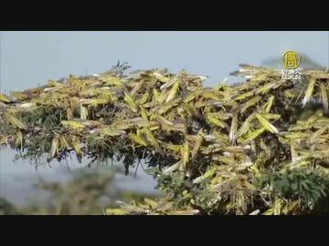 イナゴ の 大群