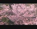 早咲きの桜2020年3月-1