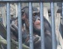 チンパンジー達の休息(宇都宮動物園)