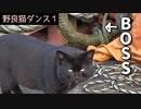 野良猫ダンス『牛若丸→モテるオスはつらいよ編』