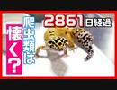 【実際に飼ってみた】爬虫類、レオパは人に懐くのか?