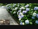 いちむじん【紫陽花】をマンドリンで。