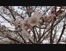 桜20200330-1