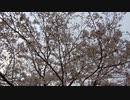 桜20200330-2