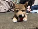 【子犬柴犬】ビビりながらおもちゃと遊ぶ柴犬が面白可愛い!癒し効果もあるかも?