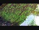 【動画 ASMR みなも】みなもと水草 湧き水