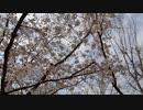桜並木の散歩20200401-1