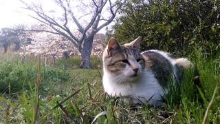 【猫と見る春】~ニャンコの、のんびりな昼下がり~