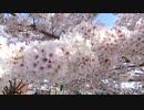 満開の桜20200405-1