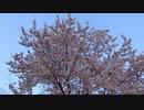 満開の桜と鳥の鳴き声20200407【作業用BGM】