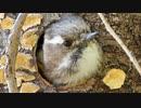 巣穴に入ったコゲラが可愛すぎる