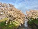 サクラ:花の街 丹波 Сакура в Японии: цветочный город Тамба