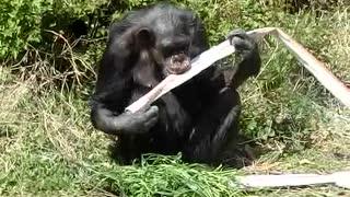 チンパンジーのマツコさんの昼飯(かみね動物園)