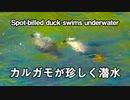 カルガモが珍しく潜水