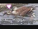 4月21日今日撮り野鳥動画まとめ カルガモ交尾、シジュウカラ水浴び、鯉産卵?